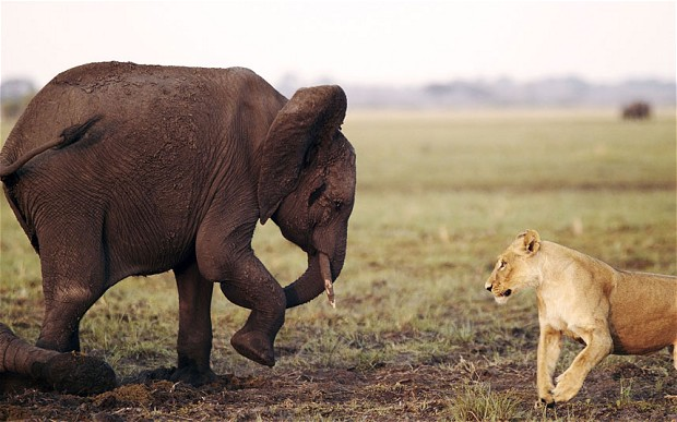 The Lion versus The Elephant Fight